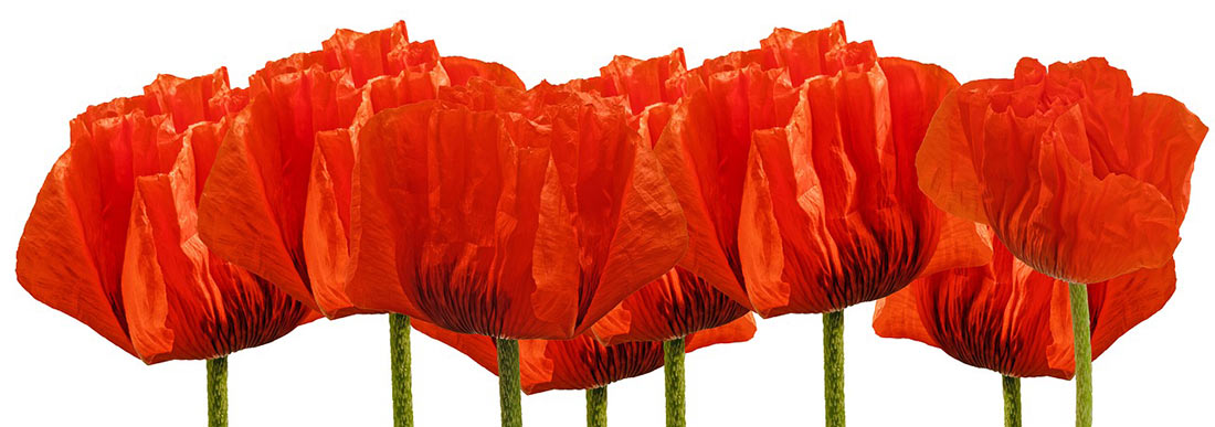 Image of a row of red poppies.