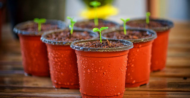Photo of seedlings in tiny pots.
