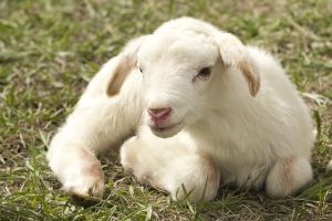 Picture of a lamb